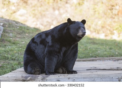 A large black bear