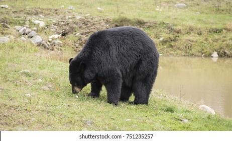 A large black bear in a field