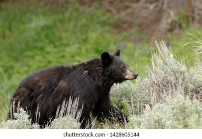 Large Black Bear on the move