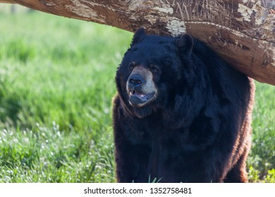 A large black bear standing under a log scratching its back in the spring sunshine.