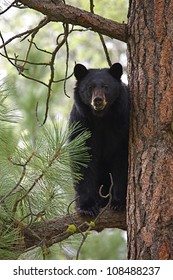 Large Black Bear treed in a large pine tree