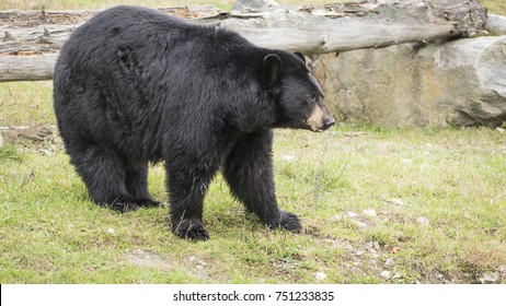 A large black bear in the woods