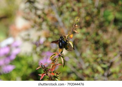 Large black beetles on a flower, Costa Blanca, Spain