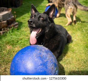 A large black German Shepherd canine gets a work out biting and chewing a large blue plastic ball
