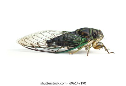 A large black and green cicada (Neotibicen) isolated on a white background