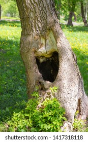 Large black hollow in a tree trunk. Summer green grass on background. Hole in the tree hollow opening manhole niche recess in a tree trunk
