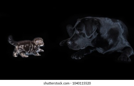 Large black labrador dog attentively looks at a small kitten Scottish Fold