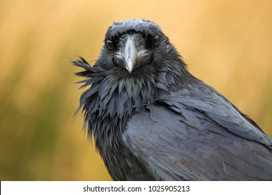 A large black raven looks at the camera in Dartmoor, UK