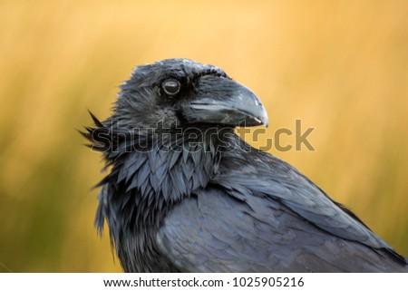 A large black raven