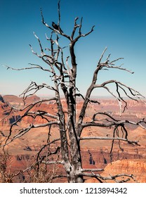 A large black Raven sitting in a dead tree on the side of Grand Canyon