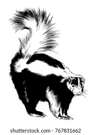 a large black skunk with a white stripe painted ink hand sketch realistic on white background