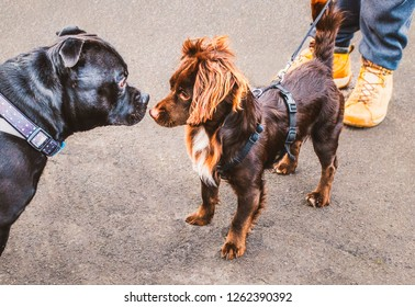A large black Staffordshire bull terrier dog meets a small brown dog with cute fluffy ears. The small dog is wearing a harness. They are nose to nose looking at each other. A man's boots can be seen.