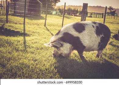 Large Black and White Kunekune Pig in Paddock Eating Grass