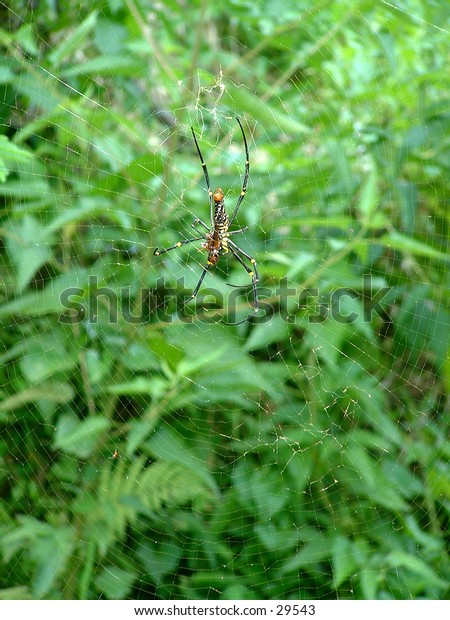 Large black and yellow Asian spider on its huge web