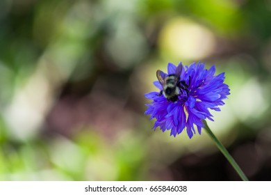 A large black and yellow fuzzy bubble bee on a purplish blue bachelor button flower with a blurred background.