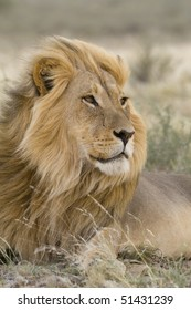 Large blond male lion with the wind blowing through his hair in South Africa's Kgalagadi Transfrontier Park.