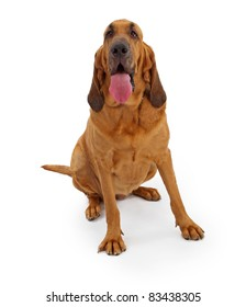 A large Bloodhound dog isolate on white containing a clipping path for easy extraction