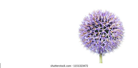 large bloom of a globe thistle on white background