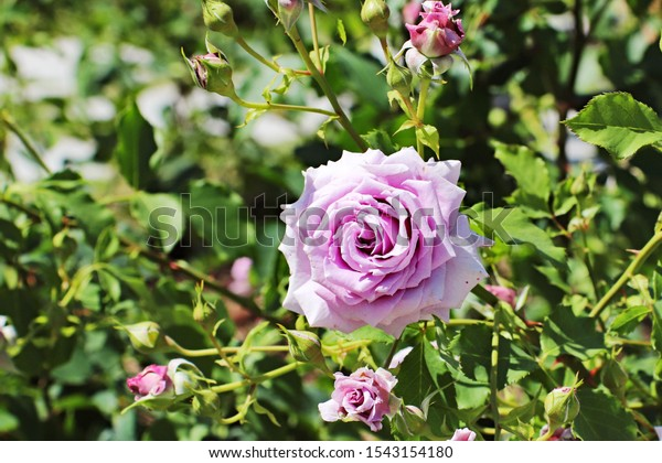 Large Blooming Purple Rose Flower Stock Photo Edit Now 1543154180