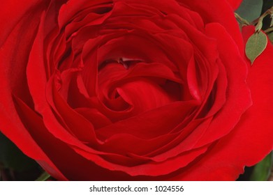 Large Blooming Red Rose Close-Up