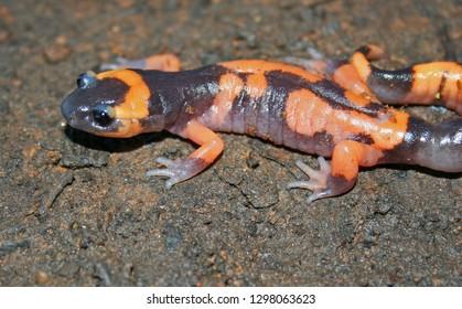 Large Blotched Ensatina Salamander