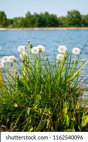Large blowballs bunch against river landscape background. Big white dandelions near blue water. Spring flowers. White flowers with green grass in sunny day. Blowing dandelions bush. White wildflowers.