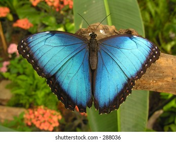 Large blue butterfly (Morpho) sitting on a root.