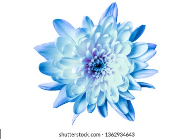large blue chrysanthemum on a white background close-up
