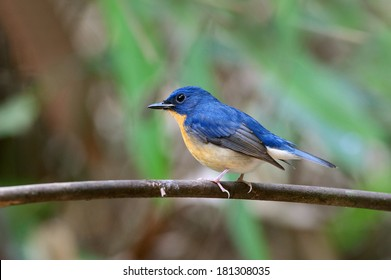 Large Blue Flycatcher/Cyornis magnirostris the Hill Blue Flycatcher (Cyornis banyumas) is a species of bird in the Muscicapidae family. It is found in Thailand.