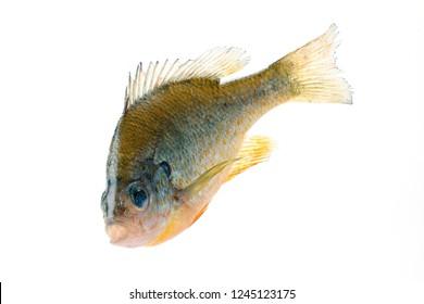 A large Bluegill sunfish (Lepomis macrochirus), close-up, isolated on white background.
