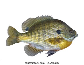 A large Bluegill sunfish (Lepomis macrochirus) Isolated on a white background.
