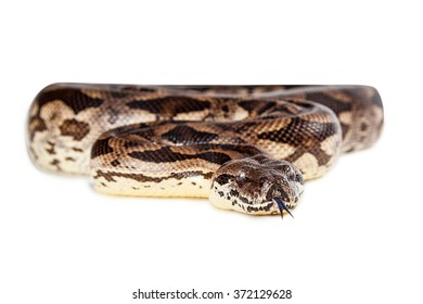 Large boa snake coiled up on white background looking forward with tongue out