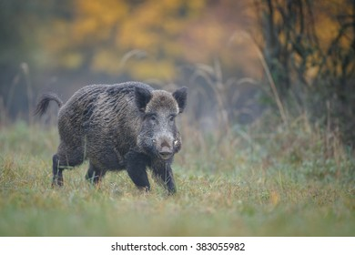Large boar in autumn stops after a short run from danger