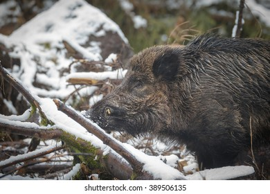 Large boar close-up in winter