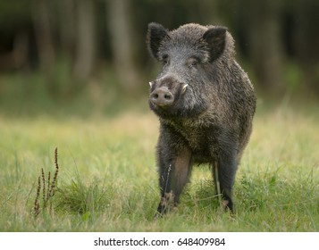 A large boar stops, cautiously sniffing the air