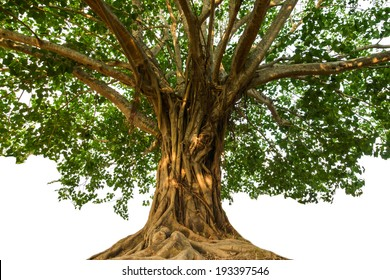 Large Bodhi tree