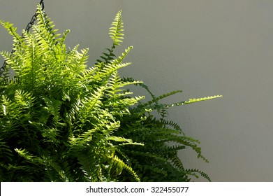 A Large Boston Fern plant hanging from a chain in front of a white wall in partial sunshine.