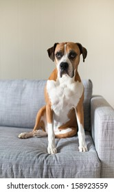Large Boxer Mix Dog Sitting on Gray Sofa at Home