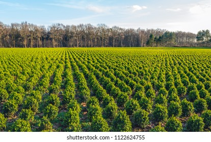 Large boxwood nursery in the Netherlands with many small spherical pruned boxwood plants in long rows on a sunny day in wintertime.