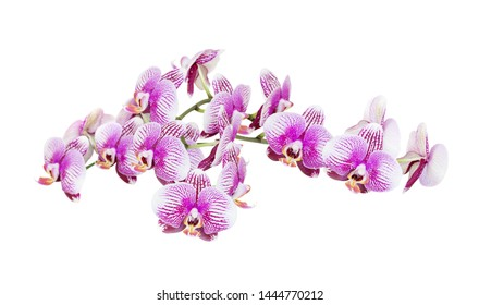 Large branch of phalaenopsis orchid with a lot of striped white and pink flowers isolated on a white background