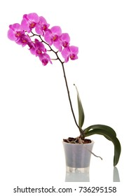 Large branch purple flowers of phalaenopsis isolated on white background