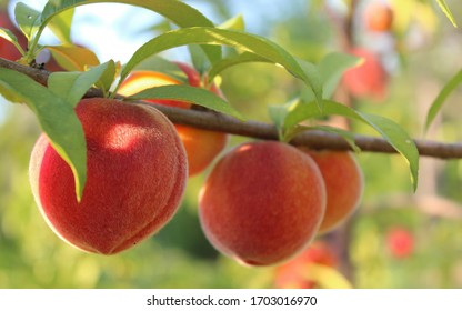 large branch with ripe peaches