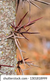 Large branched thorns on the Honey Locust tree (Gleditsia triacanthos) also known as Thorny Locust.