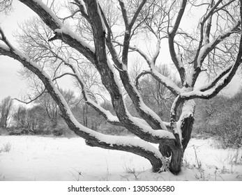 Large branchy tree covered with snow
