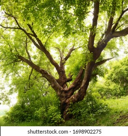 A large branchy tree in the forest. Russian landscape. Summer.
