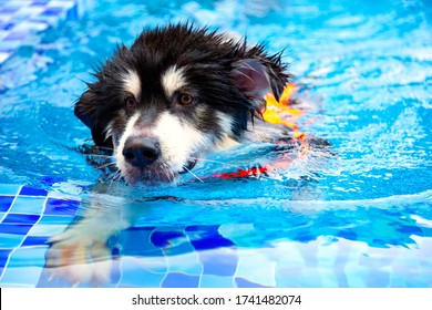 A large breed of dog, Alaskan Malamute wearing a life jacket is swimming in the pool. Water therapy for pets recovering from surgery, arthritis issues, and dogs with most types of paralysis.