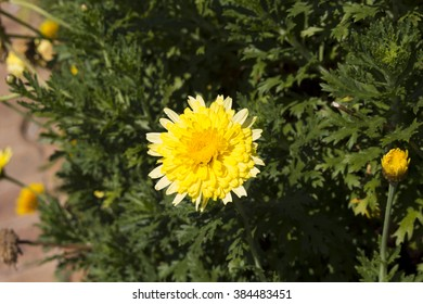 Pom pom shaped flower images stock photos vectors shutterstock large bright highly decorative showy yellow daisy argyranthemum pacific gold double primrose yellow pom mightylinksfo
