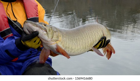 A large bronze gold and olive barred muskie fish being held by a glove handed angler on a canoe over a river on a cloudy day