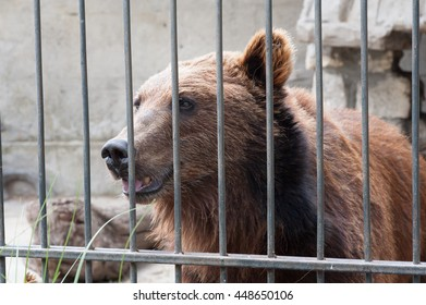 large brown bear in a cage
