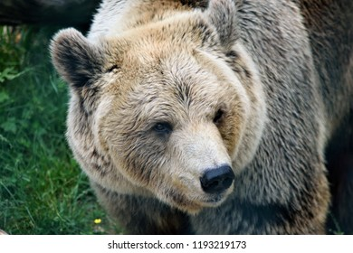 A large brown bear looks towards the camera